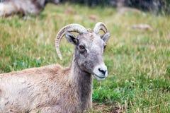 母大角野绵羊 免版税库存图片