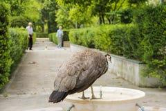 母孔雀在公园 库存图片