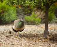 母孔雀采取步行的小鸡 免版税库存照片