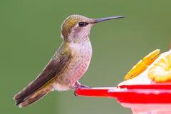 母安娜` s蜂鸟 免版税库存图片