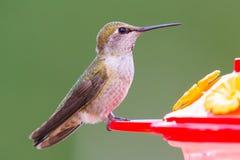 母安娜` s蜂鸟 免版税库存照片