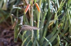 母安娜` s蜂鸟Calypte哺养在飞行中2的安娜 图库摄影