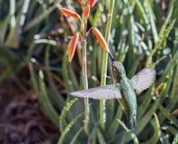 母安娜` s蜂鸟Calypte哺养在飞行中3的安娜 免版税库存图片