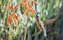 母安娜` s蜂鸟Calypte在飞行中哺养的安娜 免版税库存照片