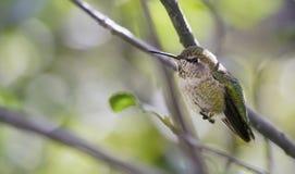 母安娜` s蜂鸟Calypte安娜休息 免版税库存照片