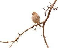 母室内燕雀 免版税库存图片
