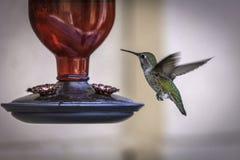 母宽广的被盯梢的蜂鸟被拍摄在饲养者 免版税库存图片