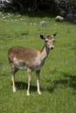 母小鹿 库存照片
