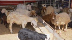 母山羊发痒它的头反对干草饲养者金属酒吧  股票视频