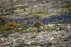 母岩石雷鸟在斯瓦尔巴特群岛 免版税图库摄影