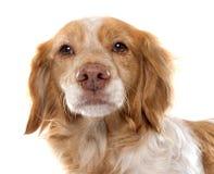 母布里坦尼西班牙猎狗 免版税图库摄影