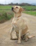 母拉布拉多狗 免版税库存照片
