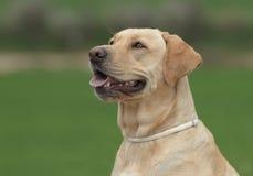 母拉布拉多狗 免版税库存图片