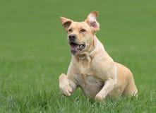 母拉布拉多狗 免版税图库摄影