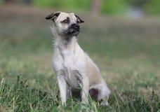 母杂种小狗 免版税图库摄影