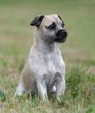 母杂种小狗 免版税库存图片
