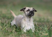 母杂种小狗 库存照片