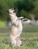 母杂种小狗 图库摄影