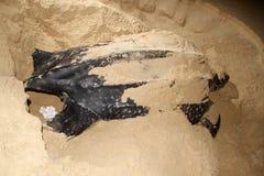母棱皮海龟 免版税库存照片