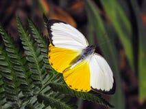 母橙色Migant蝴蝶 免版税库存照片