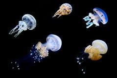 水母游泳群在海洋 免版税库存照片