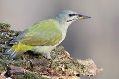 母灰色啄木鸟 免版税库存图片