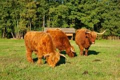 母牛、红色高地牛苏格兰盖尔语幼小公牛和两头母牛在牧场地 库存照片