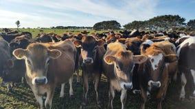 母牛一岁Padock在新西兰 免版税库存图片