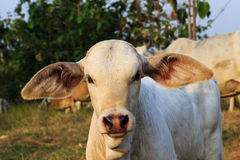 母牛一点 免版税库存图片