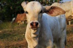 母牛一点 库存照片