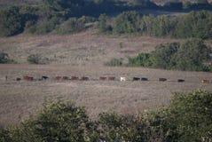 母牛串在牧场地 免版税库存图片