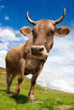 母牛乐趣 免版税图库摄影