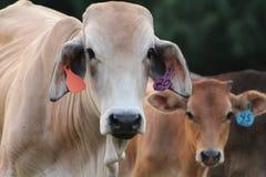 母牛二 免版税库存照片