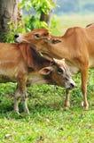 母牛亲密的爱 库存图片