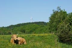 母牛位于的牧场地 免版税库存照片