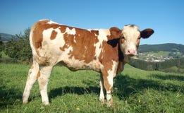 母牛侧视图 免版税库存照片