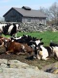 母牛农厂泥泞的年轻人 库存图片