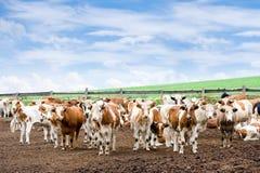 母牛农厂牧群 库存图片