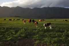 母牛农场 库存图片