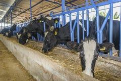 母牛农场 免版税库存图片