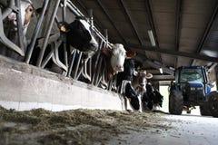 母牛农场 免版税图库摄影