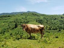 母牛凝视 免版税库存照片