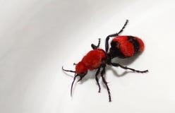 母牛凶手黄蜂(红色天鹅绒蚂蚁) 免版税库存照片