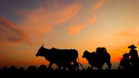 母牛剪影在日落的 免版税库存图片
