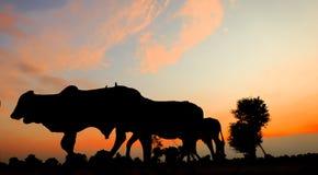 母牛剪影在日落的 图库摄影