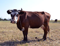 母牛动物母牛 7个动物动画片农厂例证系列 免版税库存照片