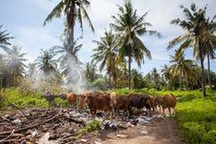 母牛吃在垃圾堆的食物 库存图片
