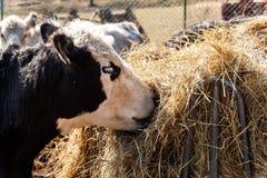 母牛吃干草 牧场在家庭种田 母牛头细节  种田有机 免版税库存照片