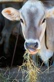 母牛吃干草 库存图片