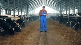 母牛吃着在一名男性工作者的监督下 股票录像